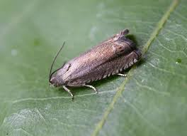 pea moth