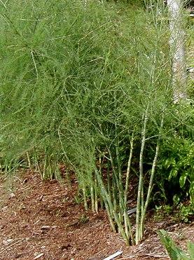 asparagus plants