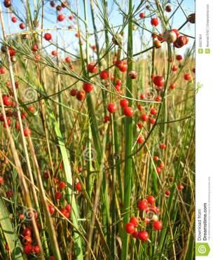 beautiful-plant-asparagus-officinalis-red-berries-30327854