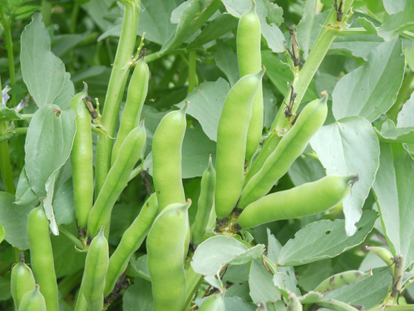 How-to-grow-broadbeans-pod-close-up