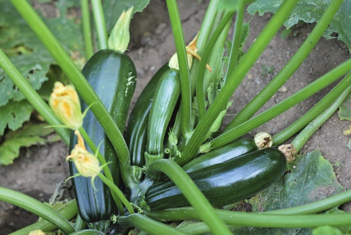 Courgette plant in fruit