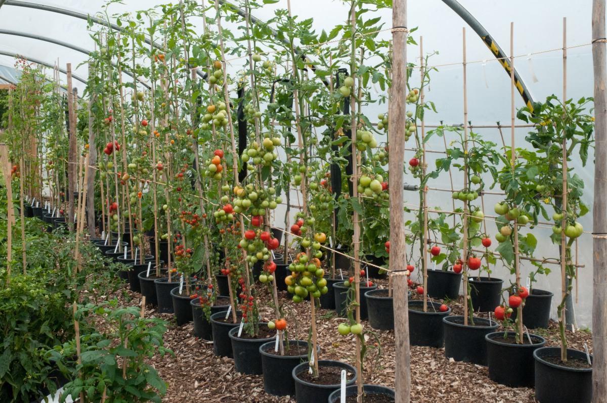 tomatoes-grown-a-scordons-at-victoriana-nursery-in-kent-august-2011.jpg