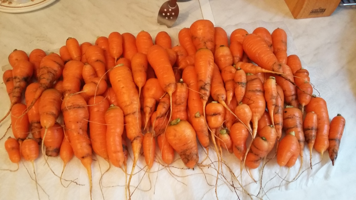 20161106_carrots-harvest-rot-fly