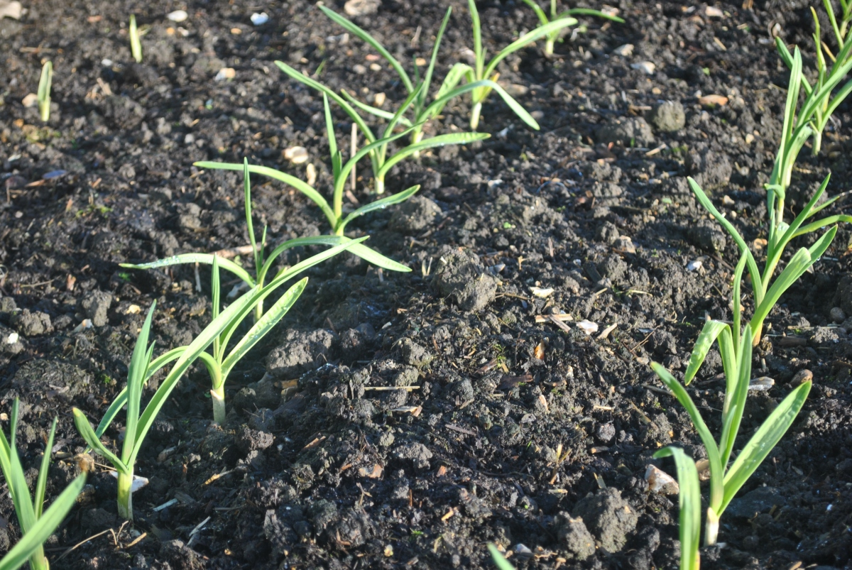 garlic plants 3 jan 2017.JPG